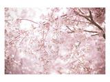 Sakura Season Cherry Blossom Kunstdrucke