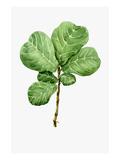 Watercolor Ficus Branch