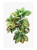 Watercolor Croton Leaves