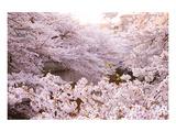 White Pink Cherry Blossoms Art