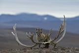 Arctic Fox (Vulpes Lagopus) Standing Next To Reindeer Skull Fotografie-Druck von Sergey Gorshkov