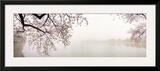Cherry Blossoms at the Lakeside, Washington DC, USA Framed Photographic Print
