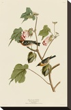 Bay-Breasted Warbler Stretched Canvas Print by John James Audubon