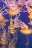 Pacific Sea Nettle Jellyfish, Chrysaora Fuscescens Fotografie-Druck von  steffstarr