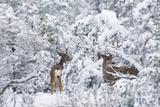 Arizona Mule Deers in Winter Reproduction photographique par  duallogic