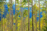 Green Yellow Aspen Trees Reproduction photographique par  duallogic