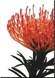 Orange Protea 1 Stretched Canvas Print by Jenny Kraft
