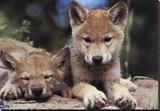 Spring Wolf Pups Impressão em tela esticada por Art Wolfe