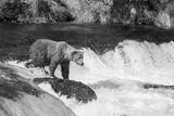 Brown Bear on Alaska Fotografisk tryk af Andrushko Galyna