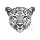 Original Drawing of Leopard. Isolated on White Background. Print by  victoria_novak