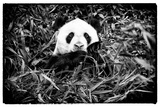 China 10MKm2 Collection - Giant Panda Metal Print by Philippe Hugonnard