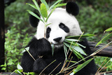 China 10MKm2 Collection - Giant Panda Reproduction photographique par Philippe Hugonnard