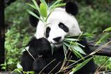China 10MKm2 Collection - Giant Panda Fotografisk trykk av Philippe Hugonnard