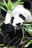 China 10MKm2 Collection - Giant Panda Fotografie-Druck von Philippe Hugonnard