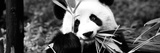 China 10MKm2 Collection - Giant Panda Fotografie-Druck von Philippe Hugonnard