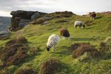 Sheep Grazing, Curbar Edge, Derbyshire, 2009 Fotografisk tryk af Peter Thompson