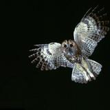 Tawny Owl in Flight Reproduction photographique par CM Dixon