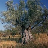 Olive Tree in Sicily Reproduction photographique par CM Dixon