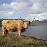 Highland Cows on the Isle of Skye Reproduction photographique par CM Dixon