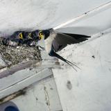 Swallow in Flight at the Nest Reproduction photographique par CM Dixon
