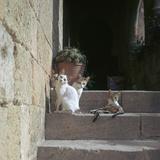 Kittens in Rhodes Old Town Reproduction photographique par CM Dixon