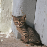 Kitten in Heracleion Reproduction photographique par CM Dixon