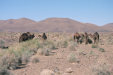 Camels, Trans Atlas Road, Morocco Fotografisk tryk af Vivienne Sharp