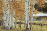 Birch Beauty Prints by Mike Jones