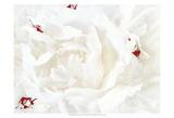 White Linen Peony I Láminas por Rachel Perry