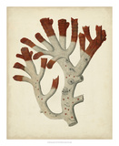 Antique Red Coral VI Giclee Print by Vision Studio