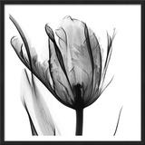 High Contrast Tulip 高画質プリント : アルバート・クーツィール