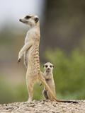 Meerkat and Pup, Namibia Lámina fotográfica por Paul Souders