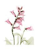 Pink Foxglove Portrait Premium Giclee Print by Albert Koetsier