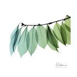 Camelia Leaf 高画質プリント : アルバート・クーツィール