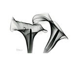 Calla Lily Gray 1 Reproduction giclée Premium par Albert Koetsier
