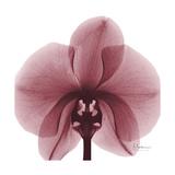 Orchid Marcela Stampa giclée premium di Albert Koetsier