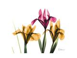 Iris Portrait Giclée-Premiumdruck von Albert Koetsier