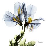 Blue Geranium Premium Giclee-trykk av Albert Koetsier