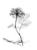 Rose Gray A Premium Giclee-trykk av Albert Koetsier