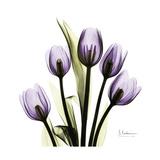Purple Tulip Square Premium Giclee-trykk av Albert Koetsier