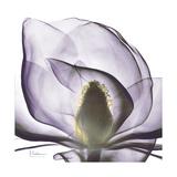 Lilac Magnolia Premium Giclee Print by Albert Koetsier