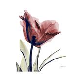 Red Tulip Premium Giclee-trykk av Albert Koetsier