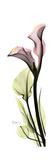 Tall Pink Calla Lily Stampa giclée premium di Albert Koetsier