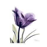 Royal Purple Parrot Tulip Premium Giclee-trykk av Albert Koetsier