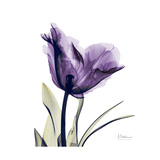 Royal Purple Parrot Tulip Premium Giclee Print by Albert Koetsier