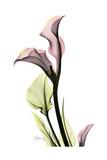 Pink Calla Lily Portrait Giclée-Premiumdruck von Albert Koetsier