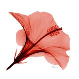 Red Hibiscus Exklusivt gicléetryck av Albert Koetsier