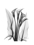 Calla Lily Gray Reproduction giclée Premium par Albert Koetsier