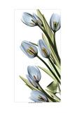Tulip Cascade Poster von Albert Koetsier
