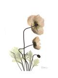 Iceland Poppy Portrait 2 Giclée-Premiumdruck von Albert Koetsier